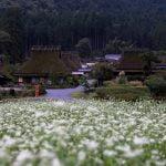 かやぶきの里(京都)のそばの花の見頃はいつまで?駐車場も!