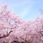 富士芝桜まつり2018の開花状況や混雑は?渋滞や駐車場についても!