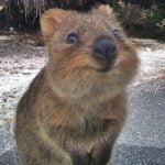 クアッカワラビーは日本の動物園にいる?かわいい動画や画像も!